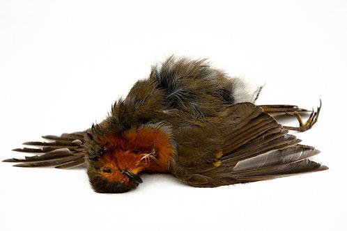 Dead Robin Print