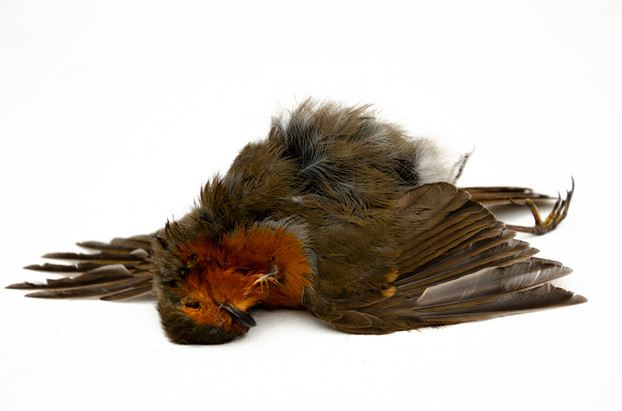 Dead Robin