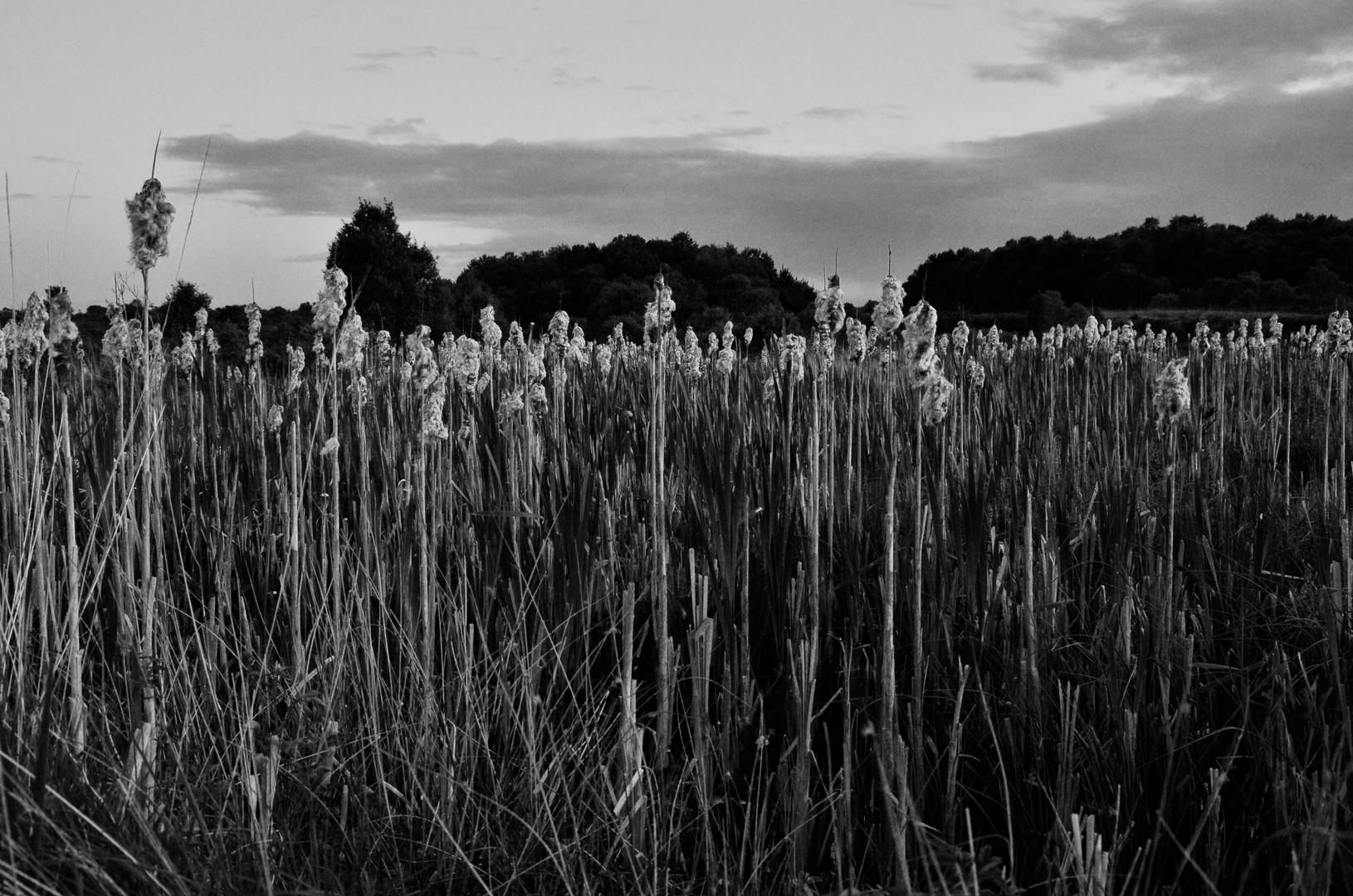 Bog reeds