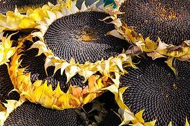 sunflower-3665355_640.jpg