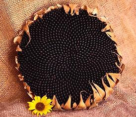 Hopi_Black_Dye_Sunflower-1.jpg