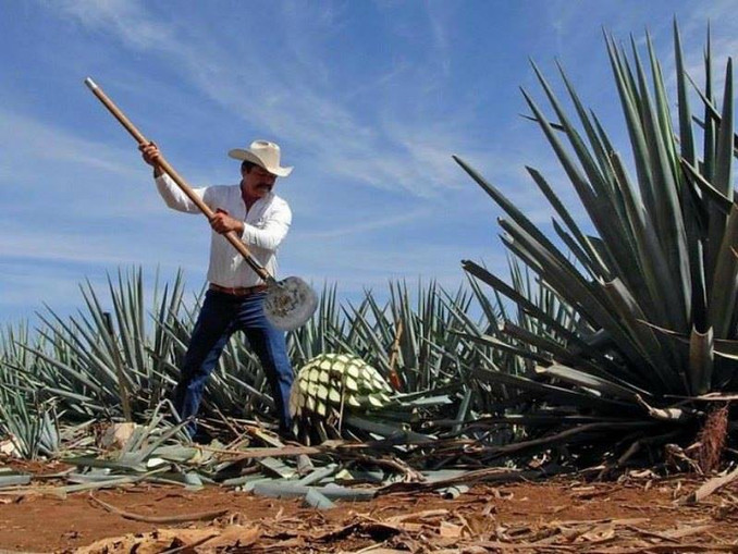 Process of the Tequila