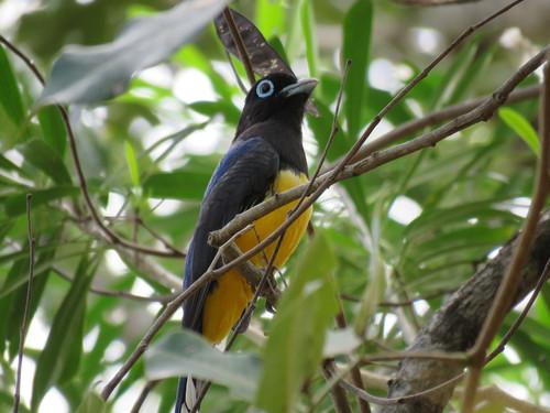 Avistamiento Atípico del Trogón Cabeza Negra en Quintana Roo - Cancún