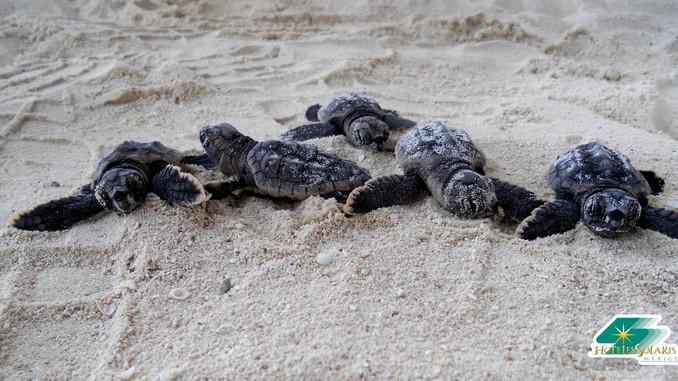Turtle season 2017