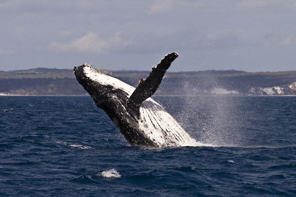 ¡No te pierdas el espectáculo de Ballenas en Los Cabos!
