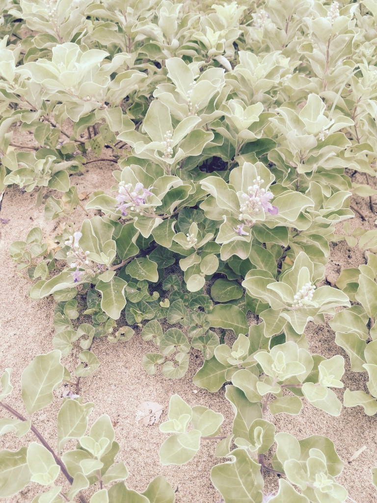 Jeju_Beach sand flower