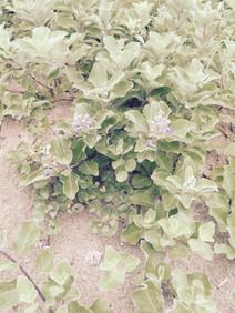 Jeju_Beach sand flower