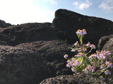 Jeju_little flower on the rocks