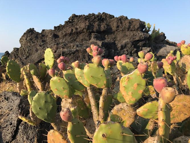 Jeju_wild cactus