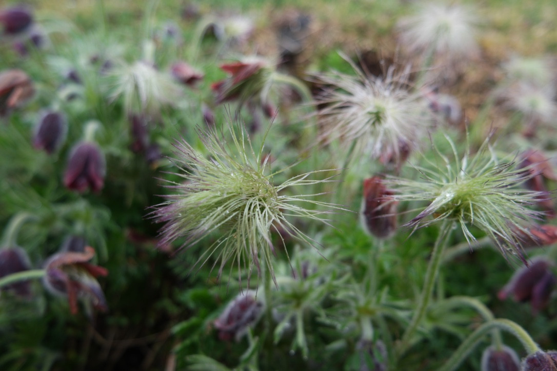 Jeju_Pasqueflower