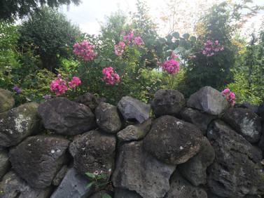 Jeju_Flowers along the stone wall