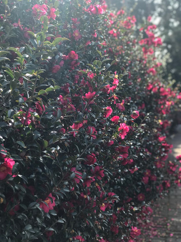 Jeju_Camellia