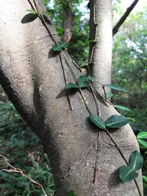 Jeju_a Tree in the Gotjawal