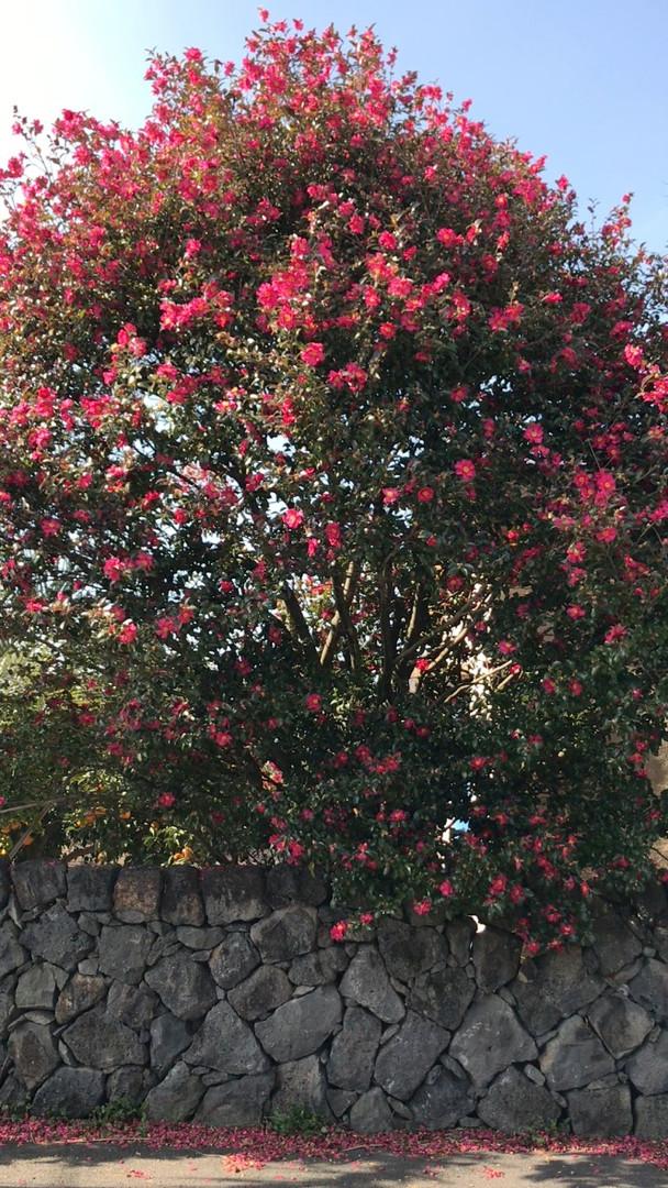 Jeju_Camellia tree