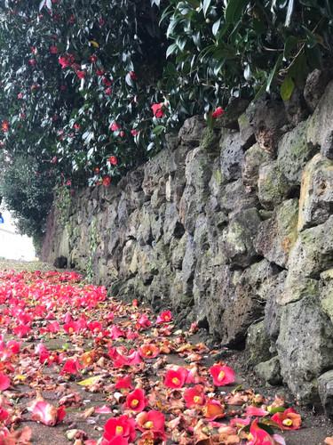 Jeju_Camellia along the stonewall
