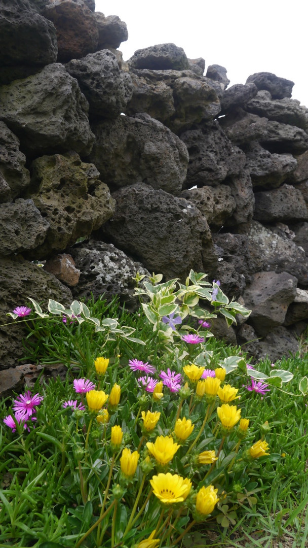 Jeju_Little flowers along the stone wall