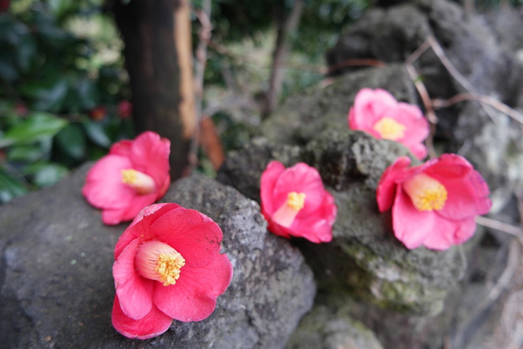 Jeju_Camellias