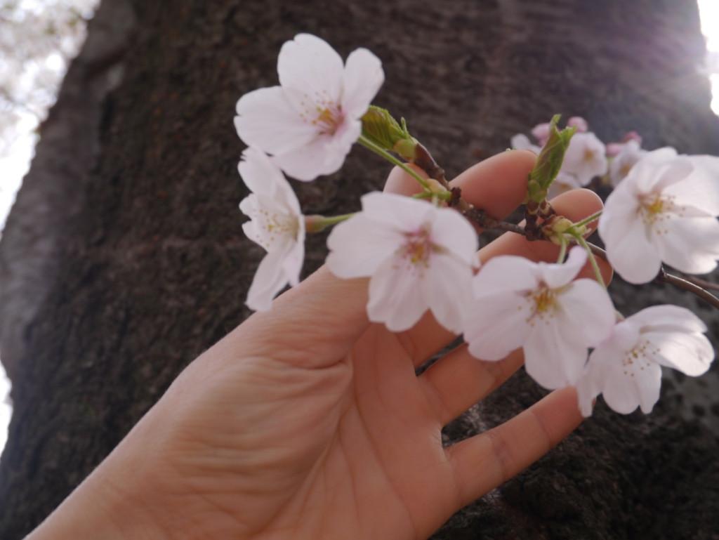 Jeju_Cherry blossom