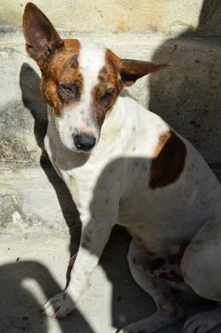 Old Havana dog 01