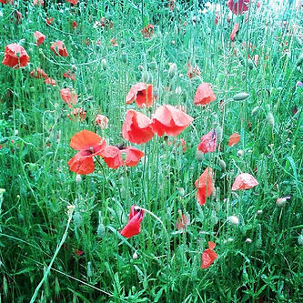 Poppies #lestweforget #poppy.jpg