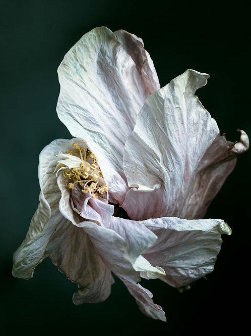 Wilting Hibiscus