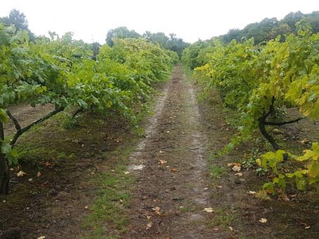 Visiting the vineyard and wine tasting