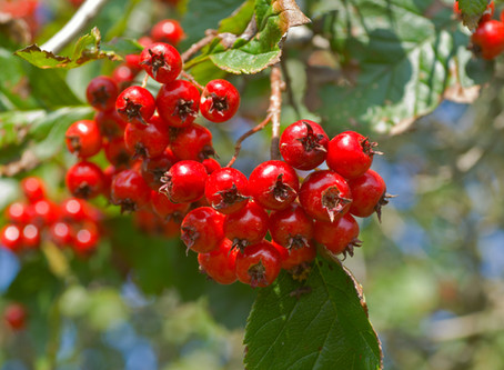 Hawthorn Berry aids digestion and reduces blood pressure