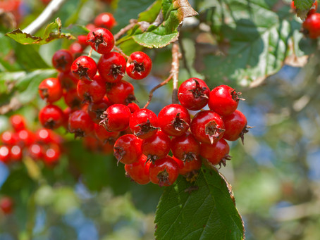 Hawthorn Berry aids digestion and may reduce blood pressure