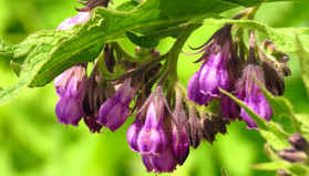 Comfrey Poultices and Injury Repair