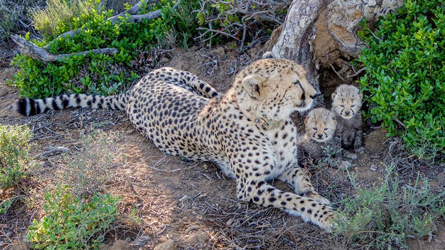 As the others before her, her wilding journey started in the holding boma where she was monitored carefully and introduced back into a natural environment after which she was released into a larger Breeding Section of the property. Soon she also successfully started hunting. She was already pregnant when she arrived at Kuzuko early 2019 and gave birth to 3 cubs (one male and two female) mid-March 2019 – very exciting news that was released just this week.