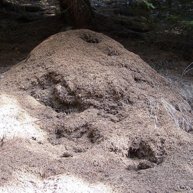 4 Acervo di formica rufa.JPG