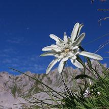 9 Stella alpina  8 Stella alpina.JPG