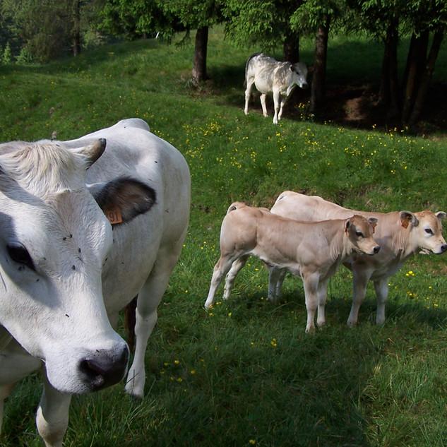 1 Mucche al pascolo.JPG