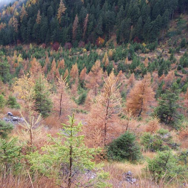 5 Larici e abeti in Val Cala.JPG
