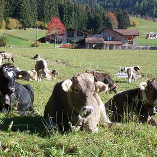 2 Mucche al pascolo.JPG