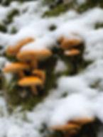 Pilzeim Schnee_alpenberge.jpg