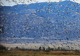flying cranes.JPG