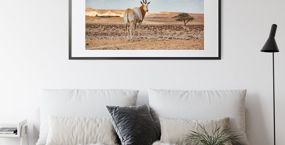 Antelope in the Deserts of Israel