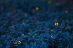 Midnight Fireflies
