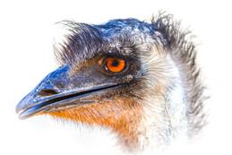 Elvis the Emu