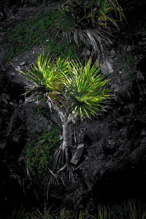 """Pandanus Palm"""