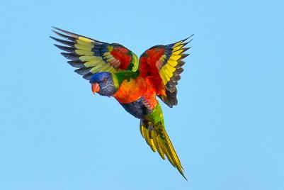 Rainbow Lorikeet Prowess