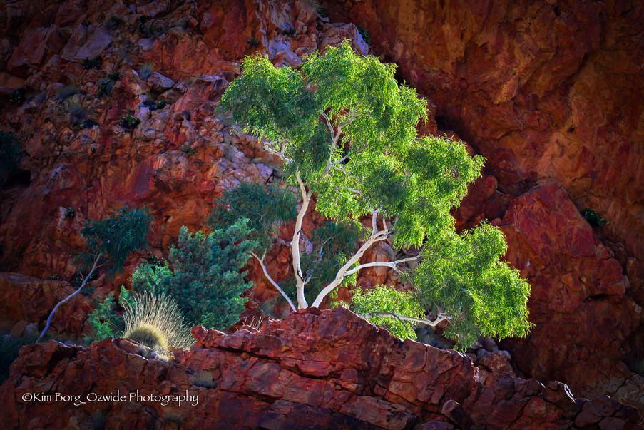 """The Anzac Tree"""