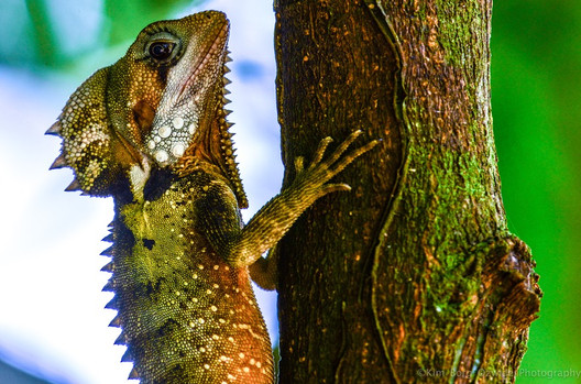 Boyds Forest Dragon Engangered Species