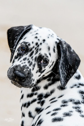 Peaches the Dalmatian