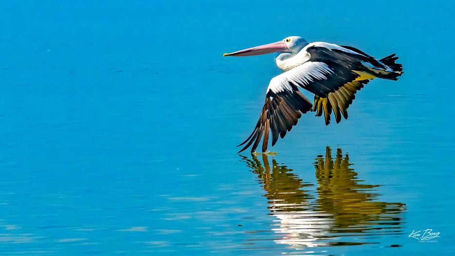 Pelican in Graceful Flight