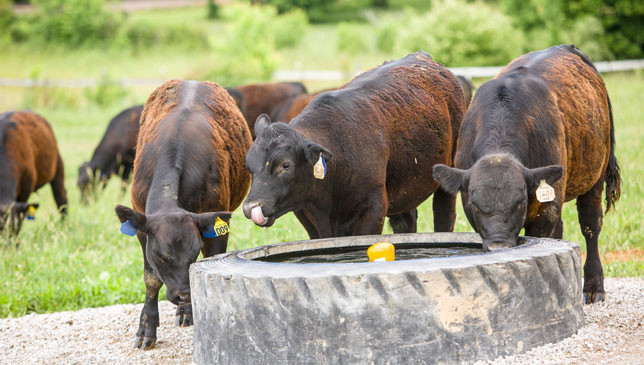 Beef cattle staying hydrated in the Kentucky summer heat. (Photo by Matt Barton)