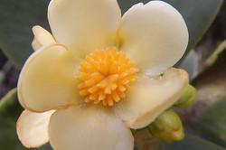 flor do pau de mocó