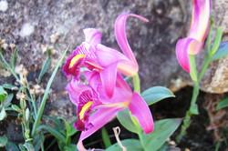 orquídea no costão rochoso
