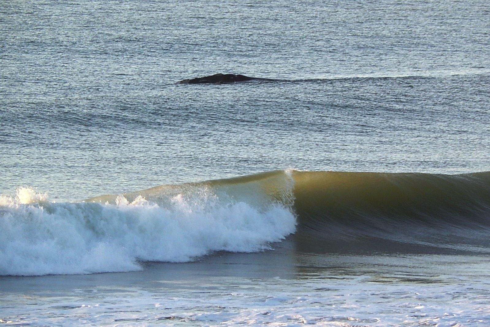 baleia franca - jul a nov